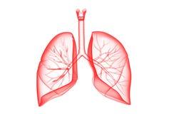 Ανθρώπινοι πνεύμονες Στοκ Φωτογραφίες