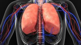ανθρώπινοι πνεύμονες διανυσματική απεικόνιση