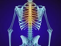 Ανθρώπινοι σκελετός και σπονδυλική στήλη Άποψη ακτίνας X διανυσματική απεικόνιση