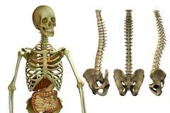 Ανθρώπινοι σκελετός και σπονδυλική στήλη ελεύθερη απεικόνιση δικαιώματος