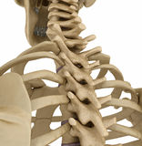 Ανθρώπινοι σκελετός, σπονδυλική στήλη και ωμοπλάτη απεικόνιση αποθεμάτων