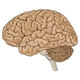 Ανθρώπινος εγκέφαλος καφετής Στοκ Εικόνα