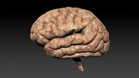 Ανθρώπινος εγκέφαλος που περιστρέφεται, άνευ ραφής βρόχος, άλφα κανάλι, μήκος σε πόδηα αποθεμάτων διανυσματική απεικόνιση
