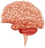 Ανθρώπινος εγκέφαλος στην πλευρά ελεύθερη απεικόνιση δικαιώματος