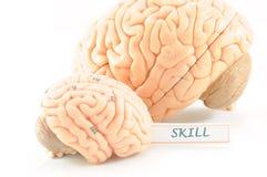 Ανθρώπινος εγκέφαλος στοκ φωτογραφίες