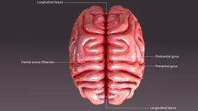 Ανθρώπινος εγκέφαλος Στοκ εικόνα με δικαίωμα ελεύθερης χρήσης