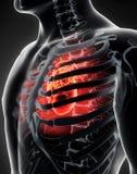 Ανθρώπινος εσωτερικός οργανικός - ανθρώπινη καρδιά απεικόνιση αποθεμάτων
