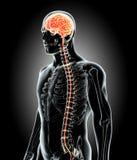 Ανθρώπινος εσωτερικός οργανικός - εγκέφαλος απεικόνιση αποθεμάτων