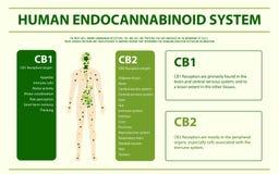 Ανθρώπινος οριζόντιος infographic συστημάτων cannabinoid απεικόνιση αποθεμάτων