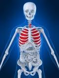 ανθρώπινος πνεύμονας διανυσματική απεικόνιση