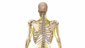 Ανθρώπινος σκελετός με τα νεύρα διανυσματική απεικόνιση