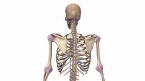 Ανθρώπινος σκελετός με τους συνδέσμους διανυσματική απεικόνιση