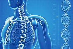 Ανθρώπινος σκελετός στο υπόβαθρο υψηλής τεχνολογίας Στοκ Φωτογραφία