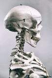 ανθρώπινος σκελετός Στοκ εικόνες με δικαίωμα ελεύθερης χρήσης