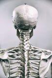 ανθρώπινος σκελετός Στοκ φωτογραφία με δικαίωμα ελεύθερης χρήσης
