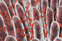 Ανθρώπινο έντερο με τα εντερικά βακτηρίδια Στοκ εικόνες με δικαίωμα ελεύθερης χρήσης