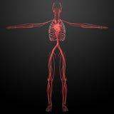 Ανθρώπινο αγγειακό σύστημα Στοκ φωτογραφία με δικαίωμα ελεύθερης χρήσης