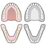 ανθρώπινο δόντι διαγραμμάτ&omeg Στοκ φωτογραφία με δικαίωμα ελεύθερης χρήσης