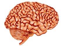 Ανθρώπινο εγκέφαλος \ \ \ «s Στοκ Εικόνα