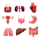 Ανθρώπινο εσωτερικό λιθόστρωτο οργάνων, δόντι, καρδιά, κύστη, νεφρά, πνεύμονες, συκώτι, έντερα, στομάχι, αναπαραγωγικό σύστημα απεικόνιση αποθεμάτων
