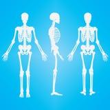 Ανθρώπινο λευκό σκιαγραφιών σκελετών Στοκ εικόνες με δικαίωμα ελεύθερης χρήσης