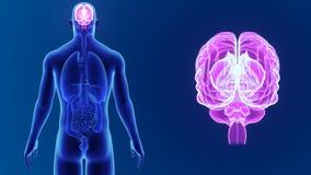 Ανθρώπινο ζουμ εγκεφάλου με τα όργανα απόθεμα βίντεο