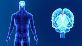 Ανθρώπινο ζουμ εγκεφάλου με το σκελετό απεικόνιση αποθεμάτων