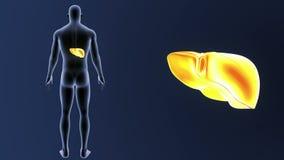 Ανθρώπινο ζουμ συκωτιού με το σώμα ελεύθερη απεικόνιση δικαιώματος