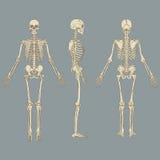 Ανθρώπινο διάνυσμα διαγραμμάτων σκελετών Στοκ Εικόνες