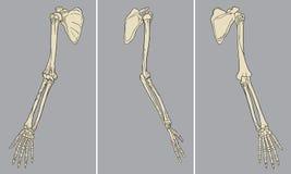 Ανθρώπινο διάνυσμα πακέτων ανατομίας βραχιόνων σκελετικό Στοκ Εικόνες
