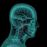 Ανθρώπινο κεφάλι με το κυκλοφοριακό σύστημα Στοκ Εικόνες