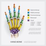 Ανθρώπινο κόκκαλο χεριών ανατομίας ελεύθερη απεικόνιση δικαιώματος
