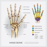 Ανθρώπινο κόκκαλο χεριών απεικόνιση αποθεμάτων