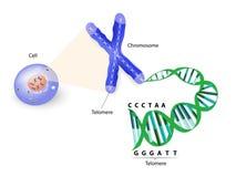 Ανθρώπινο κύτταρο, χρωμόσωμα και telomere Στοκ φωτογραφία με δικαίωμα ελεύθερης χρήσης