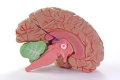 ανθρώπινο μέρος εγκεφάλου Στοκ Εικόνες