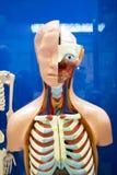 Ανθρώπινο ομοίωμα οργάνων Στοκ Φωτογραφίες