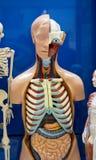 Ανθρώπινο ομοίωμα οργάνων Στοκ εικόνες με δικαίωμα ελεύθερης χρήσης