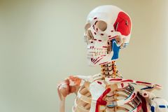 Ανθρώπινο πρότυπο ανατομίας ιατρικό γραφείο Υπόβαθρο Στοκ Εικόνες