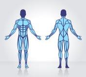 Ανθρώπινο πρότυπο διάνυσμα ανατομίας μυών Στοκ Φωτογραφία