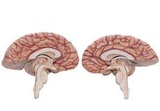 Ανθρώπινο πρότυπο εγκεφάλου που απομονώνεται στο άσπρο υπόβαθρο Στοκ εικόνα με δικαίωμα ελεύθερης χρήσης
