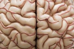 Ανθρώπινο πρότυπο εγκεφάλου Στοκ Φωτογραφίες