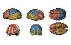 Ανθρώπινο πρότυπο εγκεφάλου Στοκ φωτογραφία με δικαίωμα ελεύθερης χρήσης