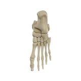 Ανθρώπινο πόδι σκελετών που απομονώνεται στο άσπρο υπόβαθρο διανυσματική απεικόνιση