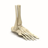 Ανθρώπινο πόδι σκελετών στο άσπρο υπόβαθρο απεικόνιση αποθεμάτων