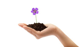 Ανθρώπινο χέρι και νέο λουλούδι Στοκ εικόνες με δικαίωμα ελεύθερης χρήσης