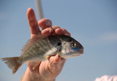 Ανθρώπινο χέρι που κρατά ψηλά ένα ψάρι σημείων για κάποιο για να εξετάσει Στοκ εικόνα με δικαίωμα ελεύθερης χρήσης
