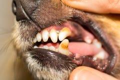 Ανθρώπινο χέρι σε ένα στόμα σκυλιών Στοκ εικόνα με δικαίωμα ελεύθερης χρήσης