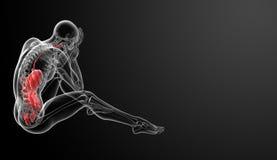 Ανθρώπινο χωνευτικό σύστημα Στοκ φωτογραφία με δικαίωμα ελεύθερης χρήσης