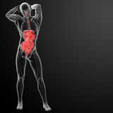 Ανθρώπινο χωνευτικό σύστημα Στοκ Εικόνες