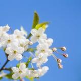 ανθών ελαφρύς μακρο φυσικός εστίασης λουλουδιών κερασιών διαφορικός Στοκ Φωτογραφία